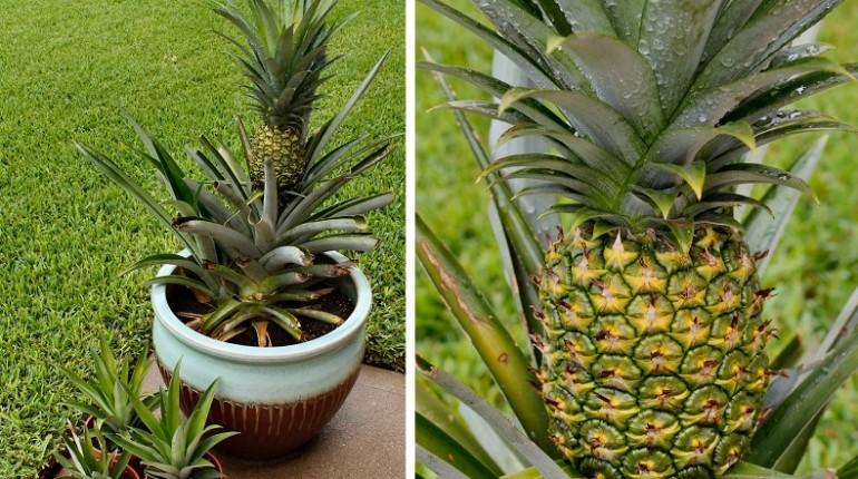 5 Étapes pour faire Pousser un Ananas