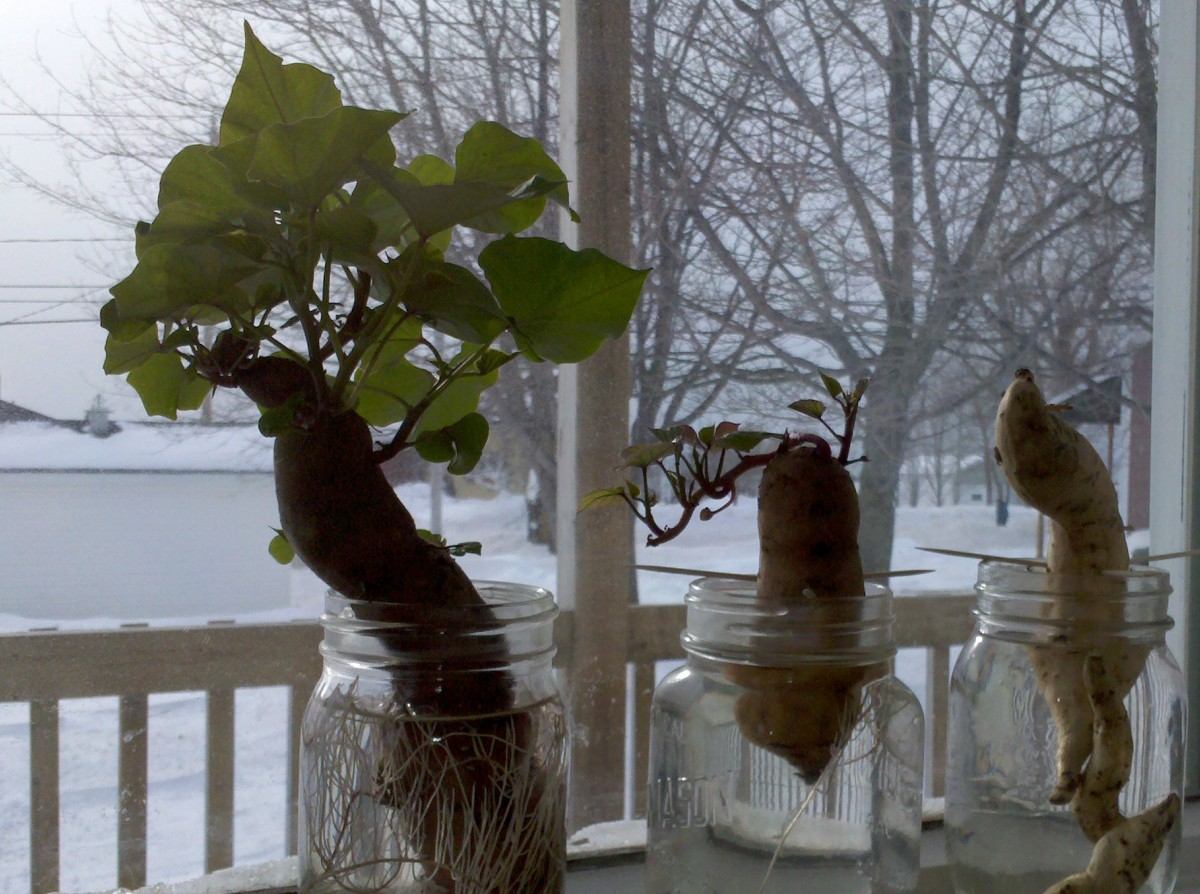 Faire Repousser des Pommes de Terre ou Patates Douces