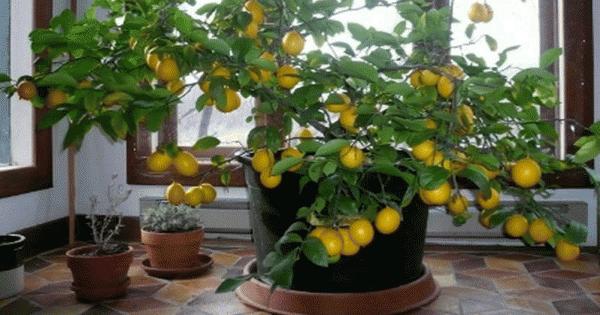 comment faire pousser un citronnier dans votre maison. Black Bedroom Furniture Sets. Home Design Ideas