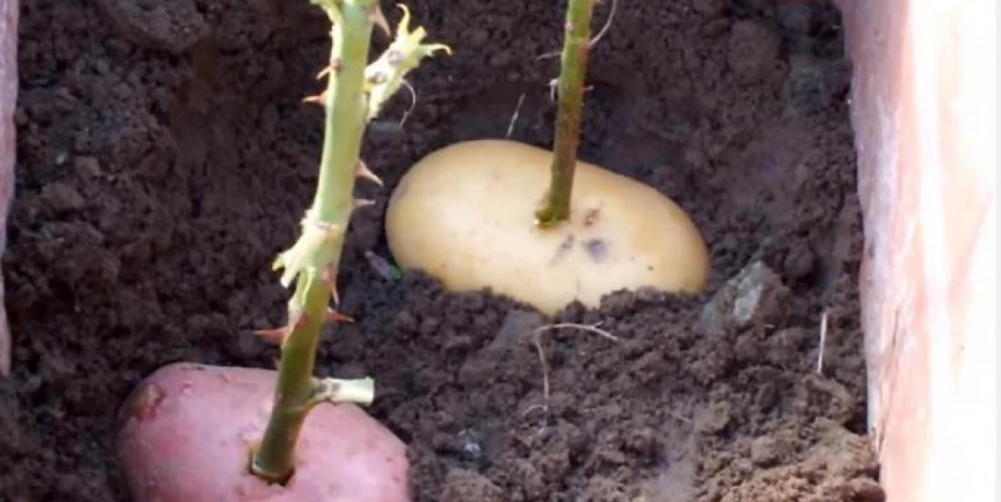 Il Pique une Rose dans une Pomme de Terre