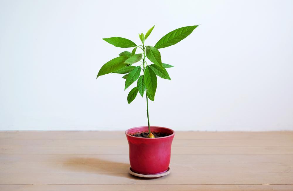 Tout Savoir sur les Plants D'avocat et leur Entretien