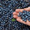 5 Bonnes Raisons de Manger des Bleuets