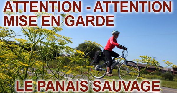 Le Panais Sauvage Attention Mise en Garde