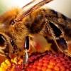 Une étude de Harvard prouve pourquoi les abeilles sont toutes en train de disparaître