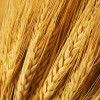 Close up of wheat nice detail background